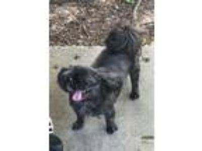 Adopt Nessie a Black - with White Shih Tzu / Mixed dog in Houston, TX (25300504)