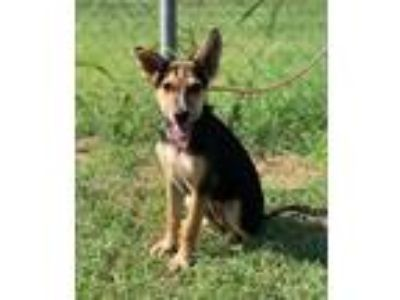 Adopt Karma a Brown/Chocolate - with Black Shepherd (Unknown Type) dog in