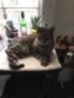 Virgil Domestic Short Hair Cat