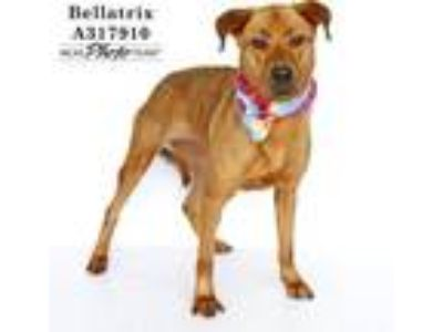 Adopt BELLATRIX a Red/Golden/Orange/Chestnut Labrador Retriever / Mixed dog in