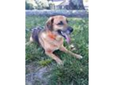 Adopt Brody a Hound (Unknown Type) / Shepherd (Unknown Type) / Mixed dog in