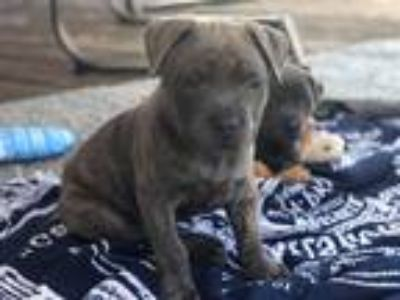 Adopt Titan ( T litter) a Brindle American Staffordshire Terrier dog in Wenonah
