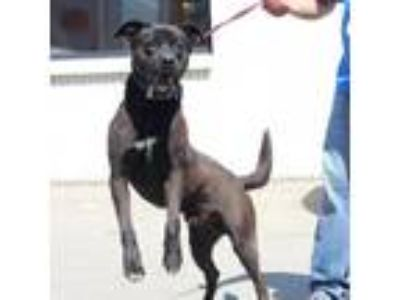 Adopt Teech a Black Shepherd (Unknown Type) dog in Fort Smith, AR (25480262)