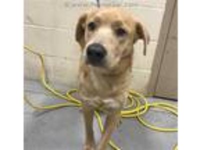 Adopt LEIA a Tan/Yellow/Fawn German Shepherd Dog / Mixed dog in Conroe
