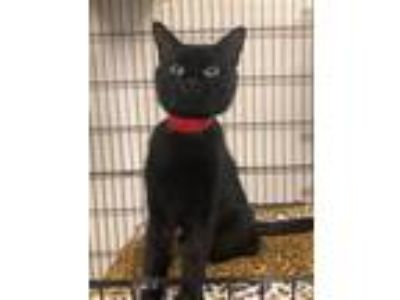 Adopt Molly a All Black Domestic Shorthair (short coat) cat in Dartmouth