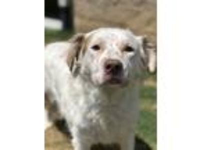 Adopt Cupcake a English Setter / Mixed dog in Birmingham, AL (25840466)
