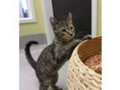 Adopt Gooseberry a Gray, Blue or Silver Tabby Domestic Shorthair / Mixed cat in