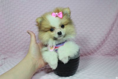 Teacup Pomeranian Puppies in las Vegas