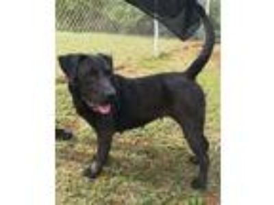 Adopt Clara a Black Retriever (Unknown Type) / Mixed dog in Kittery