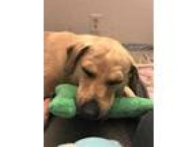 Adopt Mama Lucy sp a Tan/Yellow/Fawn Beagle / Labrador Retriever / Mixed dog in