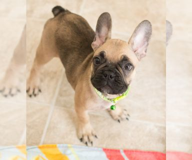 French Bulldog PUPPY FOR SALE ADN-127549 - Millie