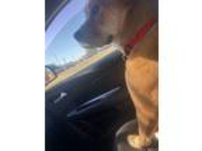 Adopt Molly a Tan/Yellow/Fawn Golden Retriever / Mixed dog in Norman