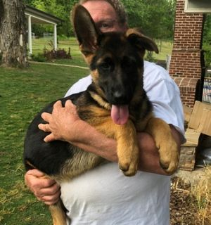 German Shepherd Dog PUPPY FOR SALE ADN-73315 - Puppies from Son of World Champion Sieger