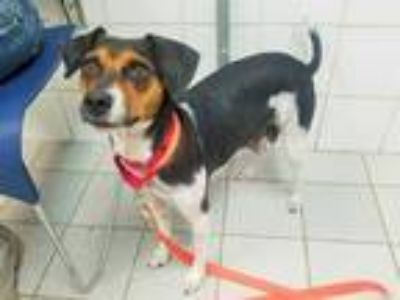 Adopt SHALIMAR a Tricolor (Tan/Brown & Black & White) Beagle / Mixed dog in