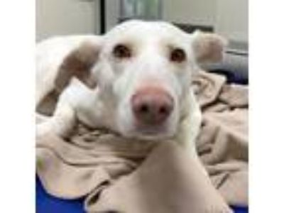 Adopt Betty a White Labrador Retriever / Catahoula Leopard Dog / Mixed dog in