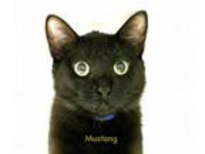 Adopt Mustang a Domestic Short Hair