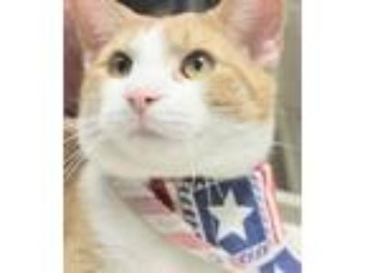 Adopt PAULIE a Orange or Red Domestic Shorthair (short coat) cat in Clayton