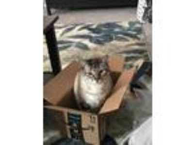 Adopt Dartagnan a Gray or Blue Siamese / Mixed cat in Westminster, CO (23760441)