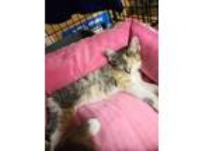 Adopt Lourdes Kitten 1(Callie) a Domestic Short Hair