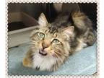 Adopt LENNY-avail 6/15 a Tan or Fawn Tabby Maine Coon (short coat) cat in