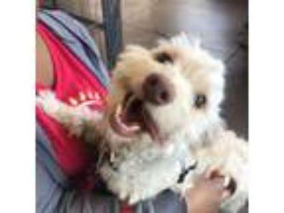 Adopt Mr. Bodacious a Poodle, Cockapoo