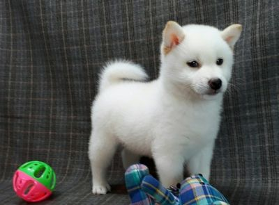 Shiba Inu PUPPY FOR SALE ADN-104575 - Handsome White Shiba Inu male Seattle SF NY LA