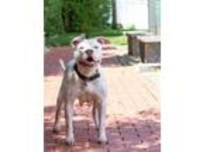 Adopt Skyler a Pit Bull Terrier / Mixed dog in Fall River, MA (25833743)