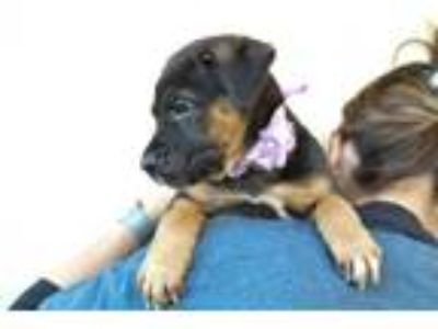 Adopt Bikini a Black - with Tan, Yellow or Fawn Shepherd (Unknown Type) / Mixed