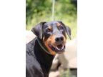Adopt Boulder a Black - with Tan, Yellow or Fawn Doberman Pinscher / Mixed dog