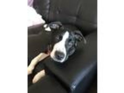 Adopt Elton a Black - with White Border Collie / Labrador Retriever dog in
