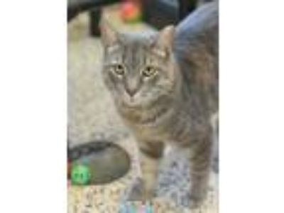 Adopt Jellybean 27466 a Gray or Blue Domestic Shorthair / Domestic Shorthair /