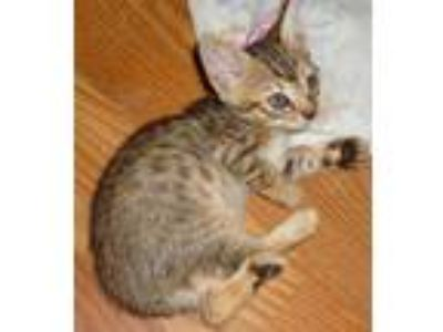 Adopt Sage and Spice a Spotted Tabby/Leopard Spotted Bengal (short coat) cat in
