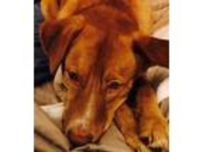 Adopt Ana a Red/Golden/Orange/Chestnut German Shepherd Dog / Golden Retriever