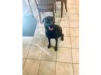 Adopt Honey a Black Labrador Retriever / Labrador Retriever dog in Killeen