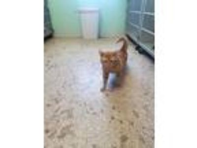 Adopt Douglas a Orange or Red Domestic Shorthair (short coat) cat in Indianola
