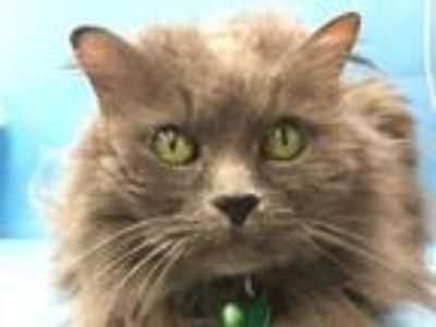 Adopt Kitty a Gray or Blue Domestic Longhair / Mixed cat in Coon Rapids