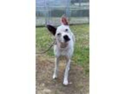 Adopt Loosey-Goosey a White Mixed Breed (Small) / Mixed dog in Binghamton