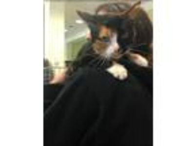 Adopt Sasha a Domestic Shorthair / Mixed cat in Charlottesville, VA (23977948)