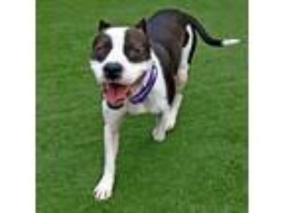 Adopt Domino a Pit Bull Terrier