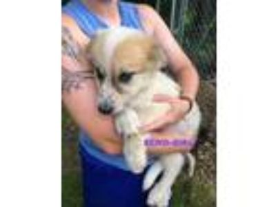 Adopt Echo a Great Pyrenees