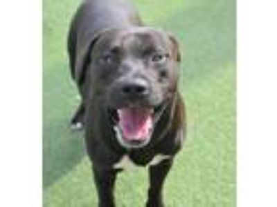 Adopt Brutus a Black Staffordshire Bull Terrier / Mixed dog in Rockwall