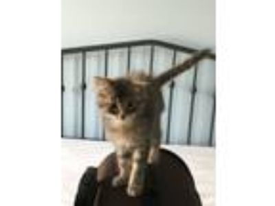 Adopt Pearl a Gray, Blue or Silver Tabby Domestic Mediumhair (medium coat) cat