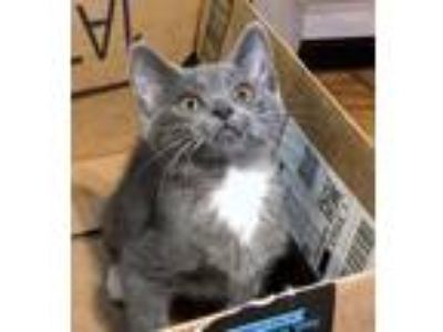 Adopt Elise a Gray or Blue (Mostly) Domestic Shorthair (short coat) cat in