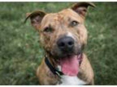Adopt *MACK a Brindle - with White American Pit Bull Terrier / Mixed dog in
