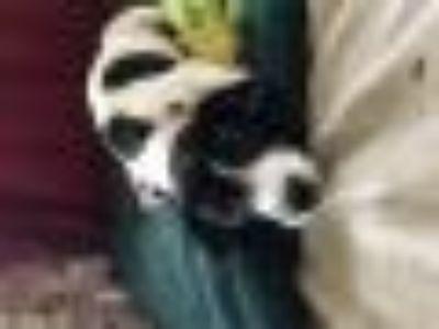 GINO Dachshund - Beagle Dog