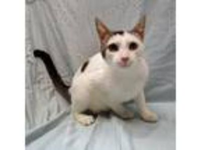 Adopt Matilda a White Oriental / Domestic Shorthair / Mixed cat in Fayetteville
