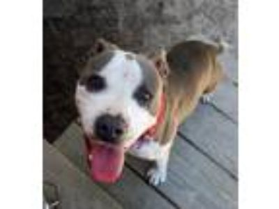 Adopt Valory a White - with Gray or Silver American Staffordshire Terrier /
