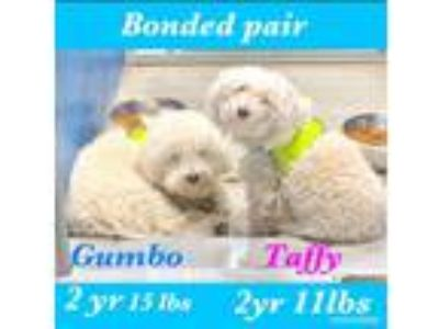 Adopt Gumbo & Taffy a Poodle