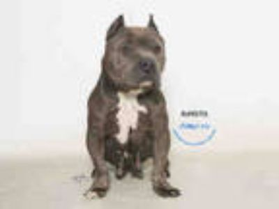 Adopt MIMI a Gray/Blue/Silver/Salt & Pepper American Pit Bull Terrier / Mixed