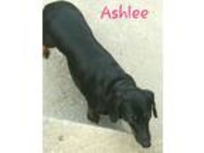 Adopt Ashlee a Black - with Tan, Yellow or Fawn Dachshund / Mixed dog in